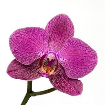 Rosa gestreifte orchideenblume auf weißem hintergrund