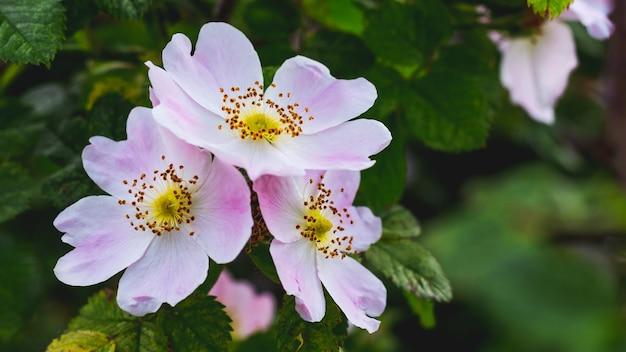 Rosa hagebutten auf einem grünen unscharfen hintergrund