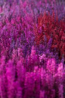 Rosa heidekrautblumen durch eine dichte wand. textur, hintergrund.