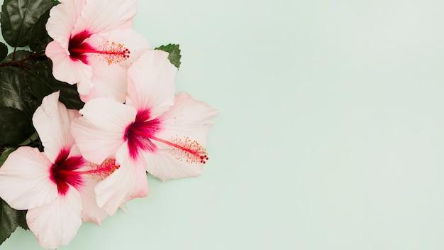Rosa hibiscusblumen auf grünem pastellhintergrund