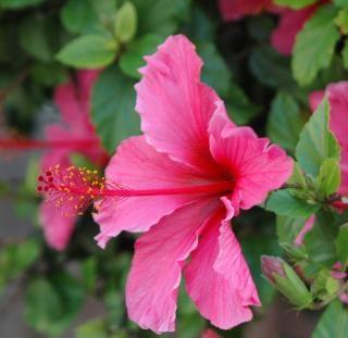 Rosa hibiskus, pflanze