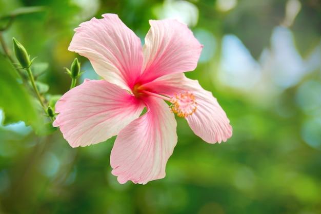 Rosa hibiskusblütenpflanze im tropischen garten blühende hibiskusblüte in hawaii große strömung