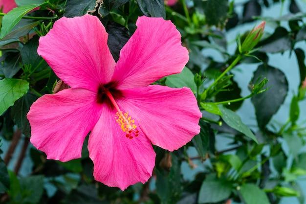 Rosa hibiskusblume mit gelben staubgefässen. blühende blume mit eingekerbten blättern.