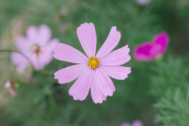 Rosa hintergrund der kosmosblume (kosmos bipinnatus)