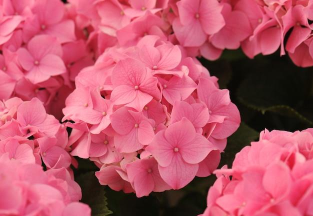 Rosa hortensie (hortensia)