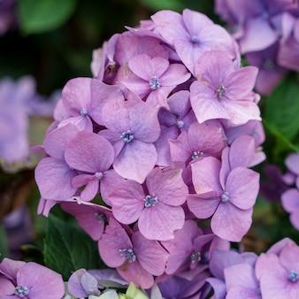 Rosa hortensie in voller blüte