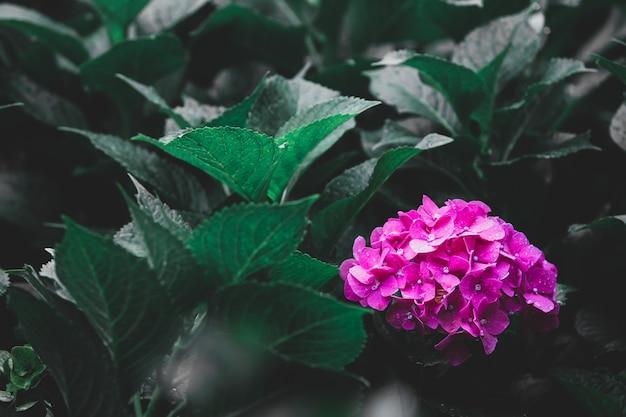 Rosa hortensie, schönes blühen im garten. mit frischen grünen blättern