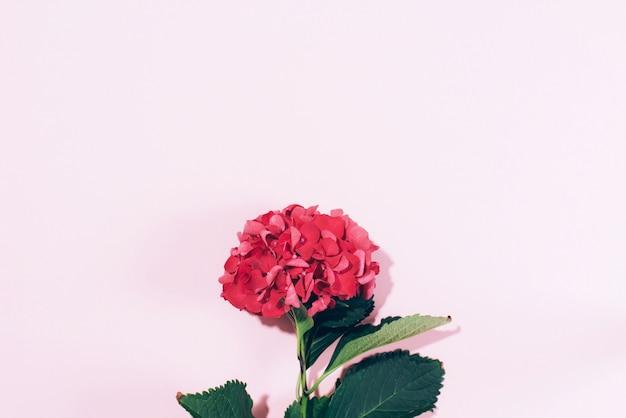 Rosa hortensieblume mit hartem schatten auf pastellhintergrund