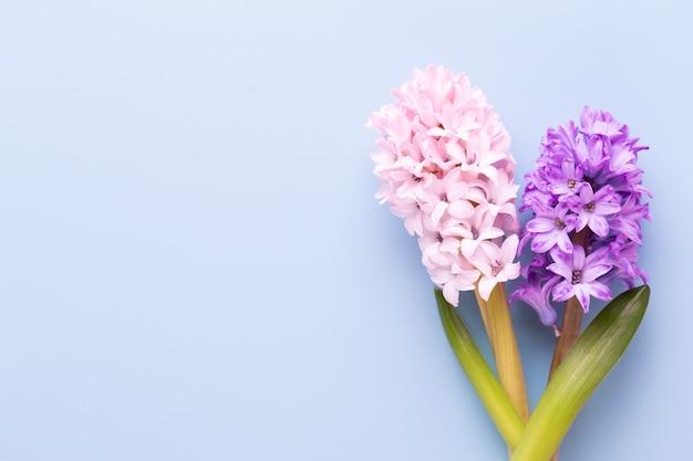 Rosa hyazinthenblume, frühlingsblumen. das parfüm blühender hyazinthen ist ein symbol des frühen frühlings.
