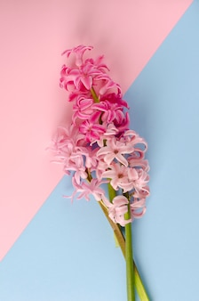 Rosa hyazinthenblumen auf pastellrosa und blau