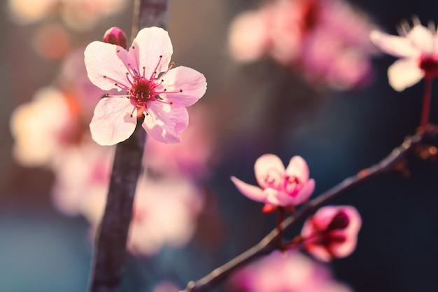 Rosa japanische kirsch- oder kirschblüte-blumenkirschblüte im frühjahr
