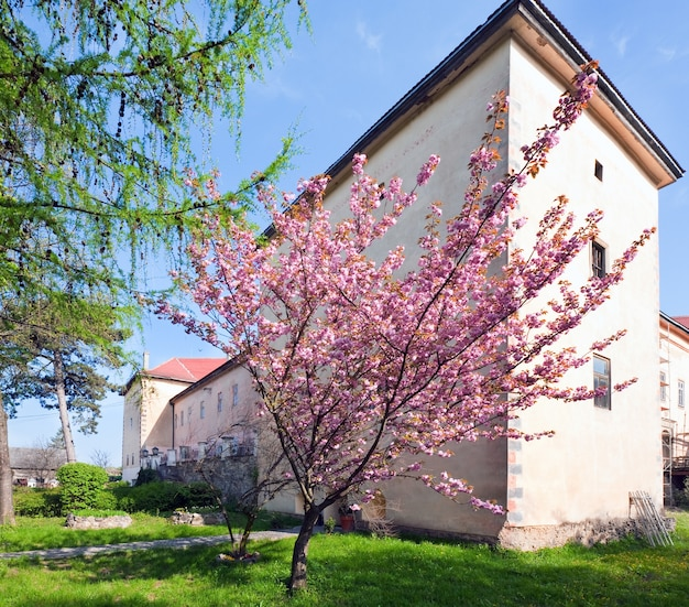 Rosa japanische kirschbaumblüte in der nähe von schloss uzhhorod (ukraine). erbaut zwischen dem 13. und 18. jahrhundert.