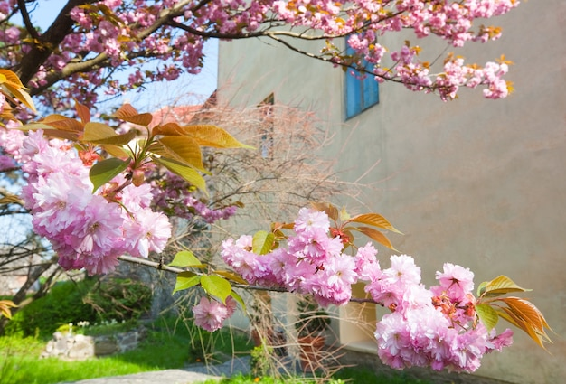 Rosa japanische kirschbaumblüte (stadt uzhgorod, ukraine)