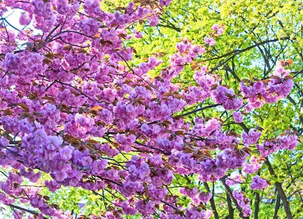 Rosa japanische kirschzweigblüte (naturhintergrund)