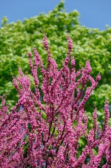Rosa judasbaum. blumen auf dem redbud-zweig. baumzweige mit rosa blumen mit dem blauen klaren himmel im hintergrund