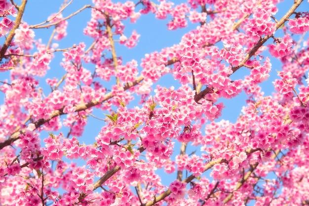 Rosa kirschbaumblüten blühen im frühling ostern gegen einen natürlichen sonnigen verschwommenen gar
