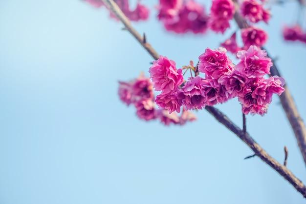 Rosa kirschblüte an schönem auf frühling