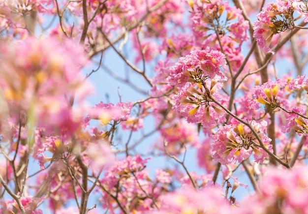 Rosa kirschblüte-blume mit klarem himmel