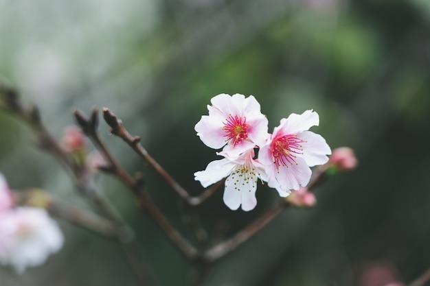 Rosa kirschblüte (kirschblüte, japanische blühende kirsche) auf dem kirschblüte-baum.