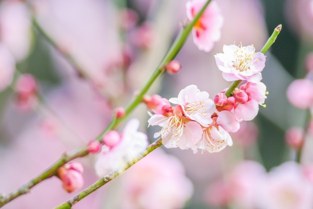 Rosa kirschblüte