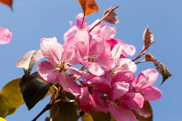 Rosa kirschblüten im frühjahr, schöne blumen auf einem obstbaum, sakura im frühjahr nahaufnahme