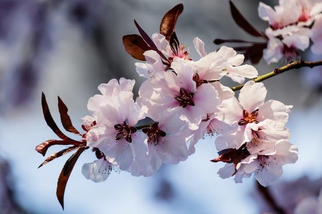 Rosa kirschblütenblüten, die auf einem baum blühen