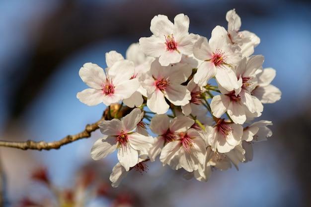 Rosa kirschblütenblüten, die auf einem baum im frühjahr blühen