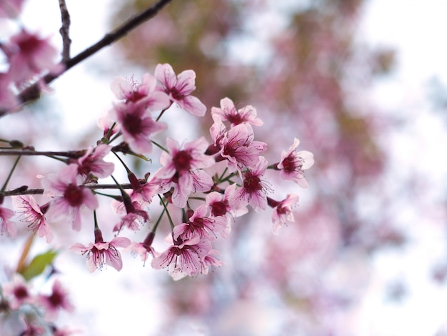 Rosa kirschblütenblume in voller blüte