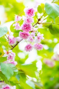 Rosa kirschblütenblume (sakura). weichzeichner-kirschblüte oder sakura-blume auf verschwommenem hintergrund