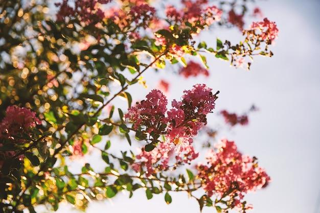 Rosa kirschblütenblumen