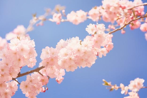 Rosa kirschblütenzweig in voller blüte. frühlingskonzept.