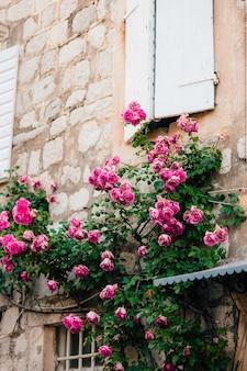 Rosa kletterrosen an der wand in der altstadt