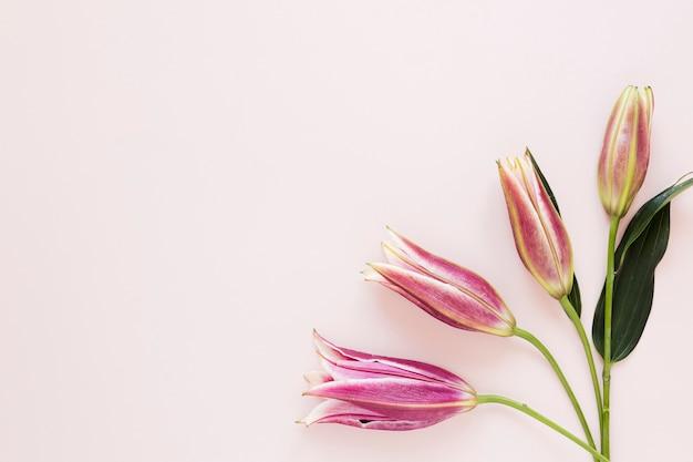 Rosa königliche lilien der steigung auf elegantem hintergrund