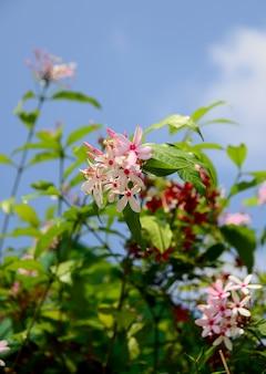 Rosa kopsia-blume und blured himmel