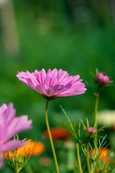 Rosa kosmosblume, die auf einer wiese blüht