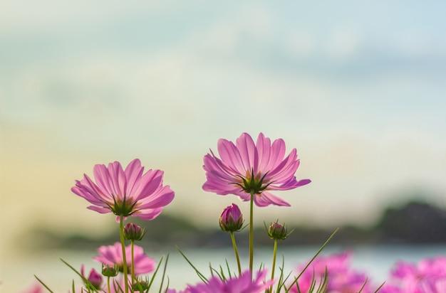 Rosa kosmosblume, die schön für hintergrund blüht