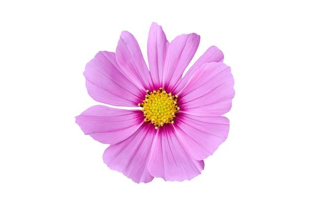 Rosa kosmosblume lokalisiert auf weißem hintergrund. zierschön blühende gartenpflanze cosmos bipinnatus.