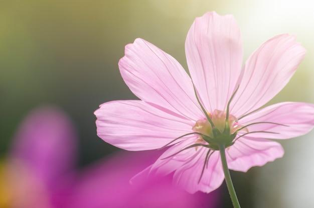 Rosa kosmosblumen verwischt mit unscharfem musterhintergrund.