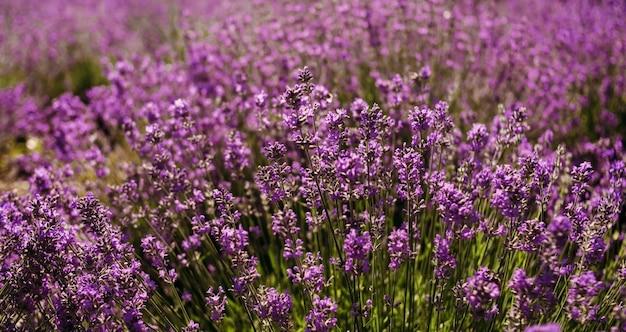 Rosa lavendelbuschblume wächst auf dem feld.