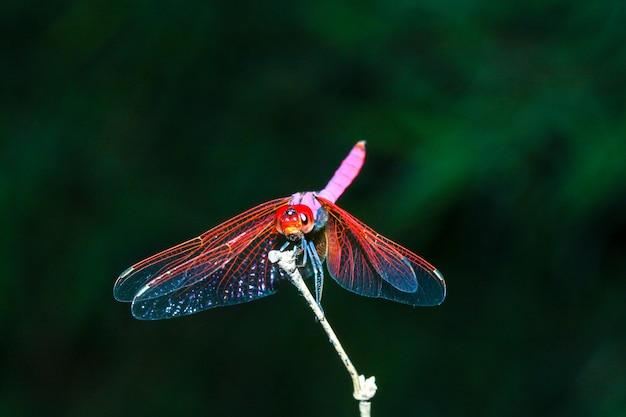 Rosa libelle auf stockbambus im wald bei thailand