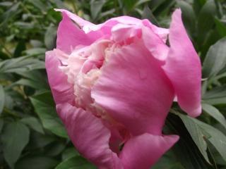 Rosa lieben schöne