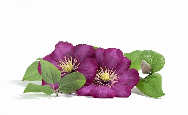 Rosa lila clematisblüten isoliert auf weißem hintergrund. blumensommer oder frühlingshintergrund. postkarte.