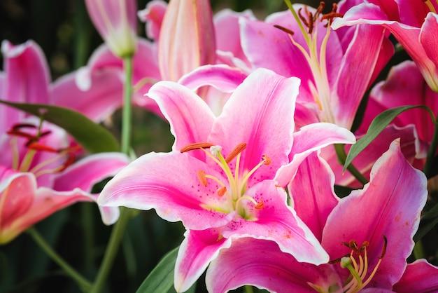 Rosa lilienblume der nahaufnahme