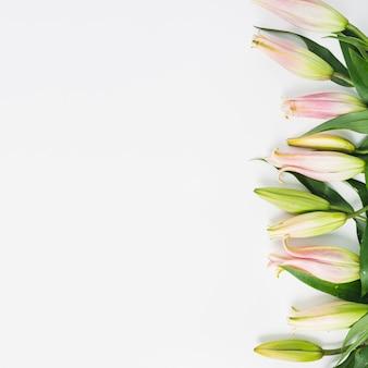 Rosa lilienblumenknospengrenze auf weißem hintergrund