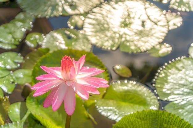 Rosa lotos, der im teich blomming ist.