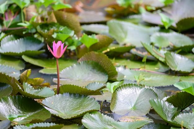 Rosa lotos im teich, schönes rosa waterlily im fluss.