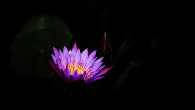 Rosa lotos und dunkler hintergrund