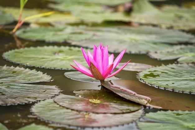 Rosa lotosblume auf teich