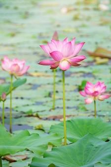 Rosa lotosblume, die unter üppigen blättern im teich unter hellem sommersonnenschein blüht