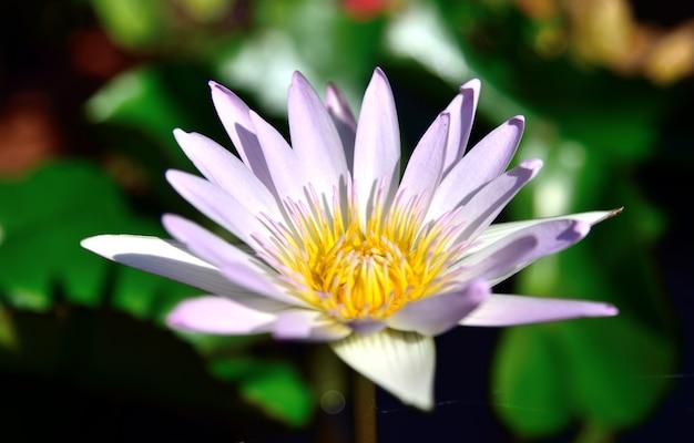 Rosa lotosblumen in der natur auf schwarzem hintergrund
